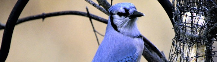 4 Simple Ways to Attract Bluebirds to your Backyard