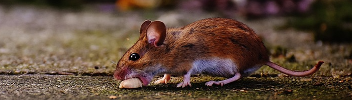 Mouse Sickness